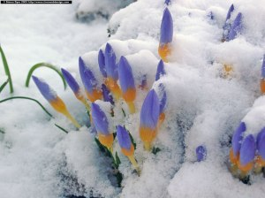 crocus_snow